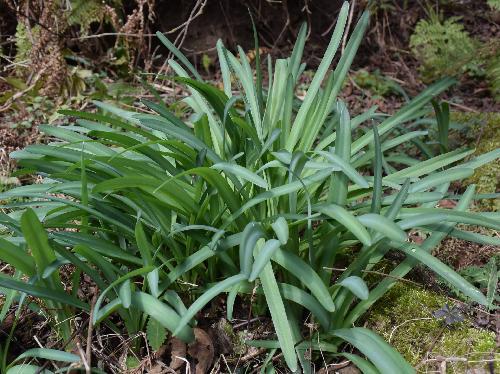 オオキツネノカミソリ 葉は根生し細長くて先端は丸い