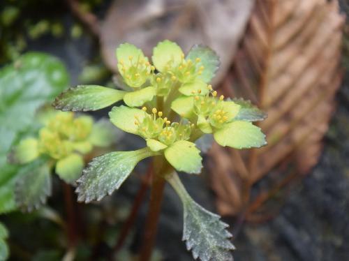 イワボタン 早春に小さな黄色みを帯びた花 井原山