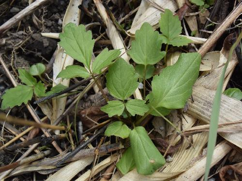 カノコソウ 新芽の小葉は1か3枚