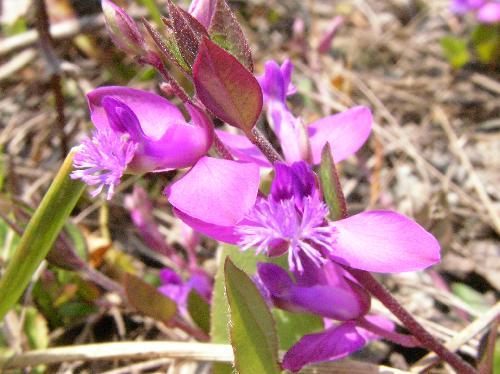 ヒメハギ 春に紫色の小さな花