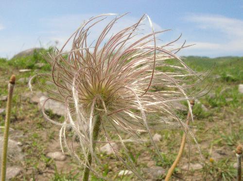 オキナグサ 晩春 白い綿毛が生えた種子