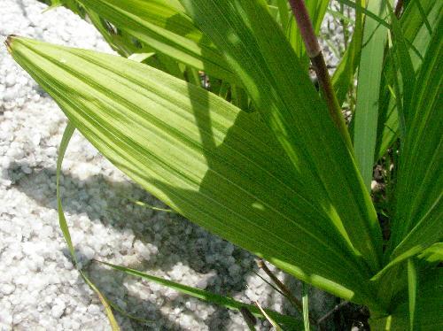 シラン 細長い葉