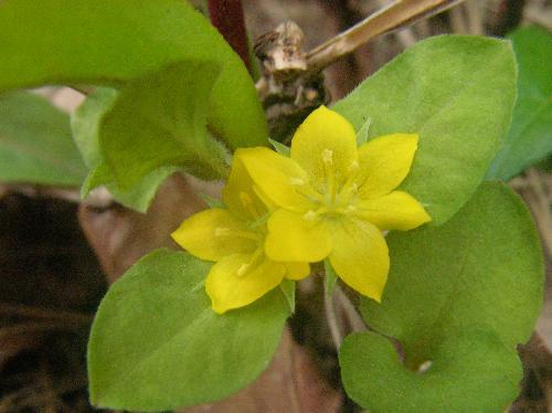 コナスビ 春~初夏 小さな黄色い花