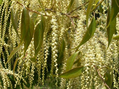 シラカシ 春にクリーム色の房状の花