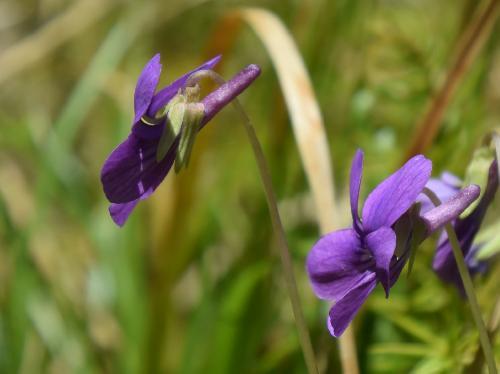 アカネスミレ 晩春 濃い紫色の花