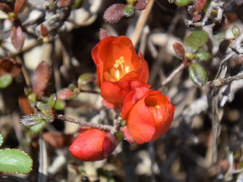 クサボケ 晩春に赤い花