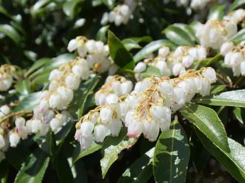 アセビ 春 小さな白い花