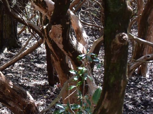 アセビ 老木では樹皮がはがれ白褐色になる