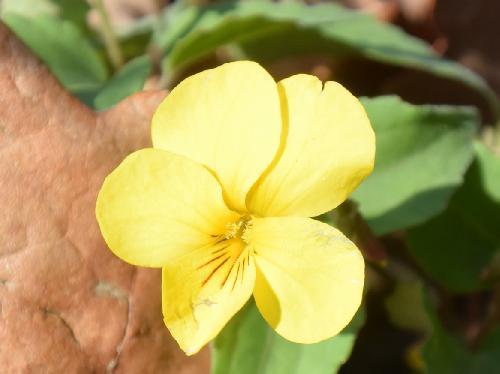 キスミレ 晩春 黄色い花
