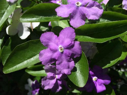 ニオイバンマツリ 晩春~初夏 赤紫色の花