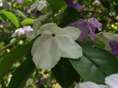 ニオイバンマツリ 晩春~初夏 紫から白に変化