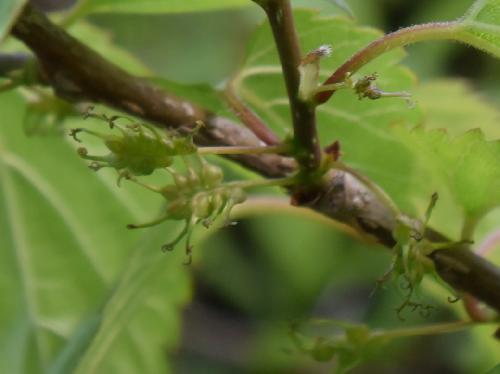 ヤマグワ 晩春 花柱の長い雌花