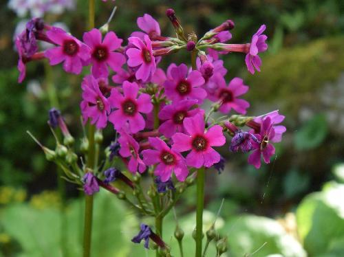 クリンソウ 晩春から初夏に小さな赤紫の花