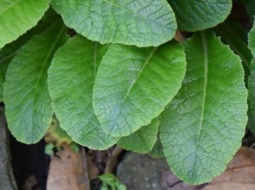 クリンソウ 葉は楕円形で鋸歯があり根生