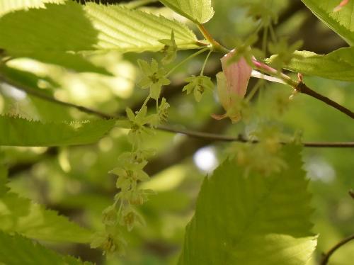 チドリノキ 雄花 薄黄緑色