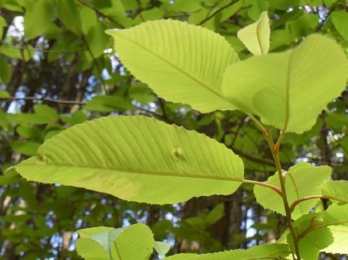 アワブキ 大きな葉 互生 倒卵形 鋸歯