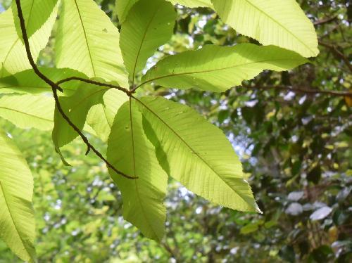 アワブキ トチノキの小葉に似ている