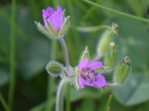 オランダフウロ 夏に小さなピンクの花