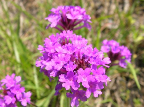シュッコンバーベナ 春夏秋 小さなピンク赤紫の花