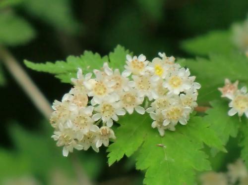 コゴメウツギ 晩春 小さな白い花