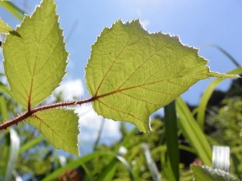 エビガライチゴ 葉は3出複葉で小葉は広卵形 鋸歯 互生