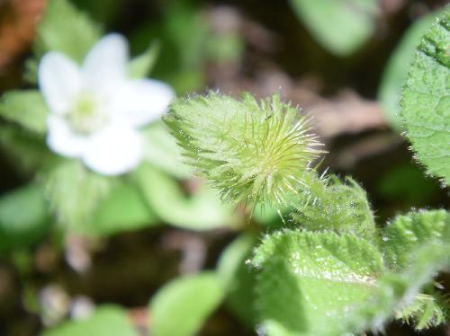 コバノフユイチゴ つぼみ 苞葉にはとげがある