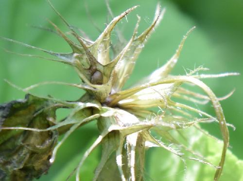 オドリコソウ 初夏 小さくて扁平な球形で茶色の種子
