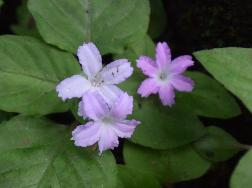イナモリソウ 晩春~初夏 小さなピンク~白色の花