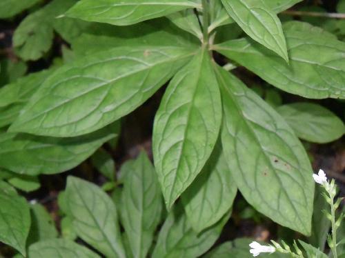 サワルリソウ 葉は全縁の倒卵形で互生