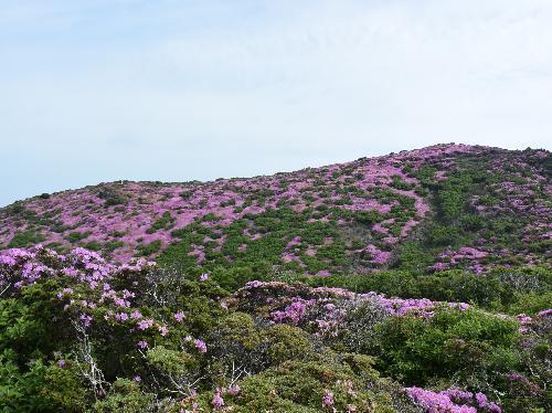 ミヤマキリシマ 深山霧島