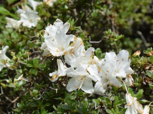 ミヤマキリシマ 白い深山霧島 晩春から初夏