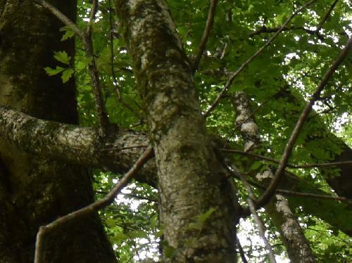 ミツデカエデ 幹は白褐色