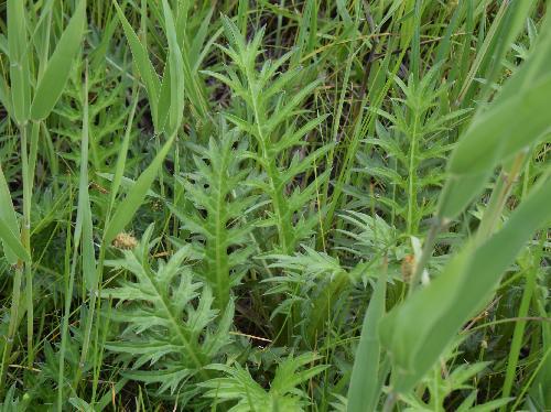 サツマアザミ とげの多い葉 互生 鋸歯 楕円形