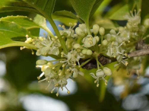 アオハダ 初夏に小さな白い雄花