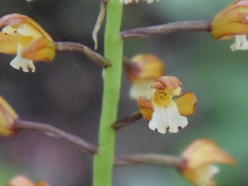コケイランモドキ 初夏 白い舌弁の縁には紫色の斑点