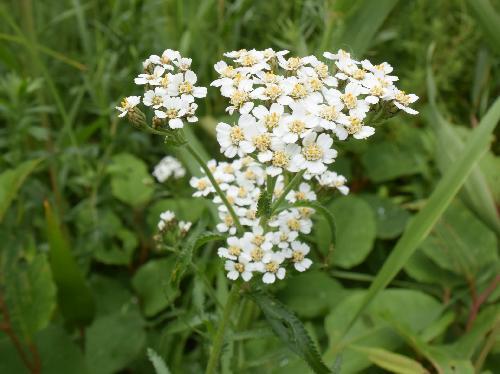 アソノコギリソウ 晩夏~初秋 白い小さな花