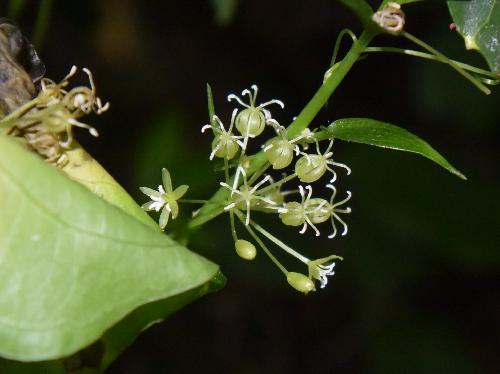 シオデ 夏 球状に付く小さな黄緑色の雄花