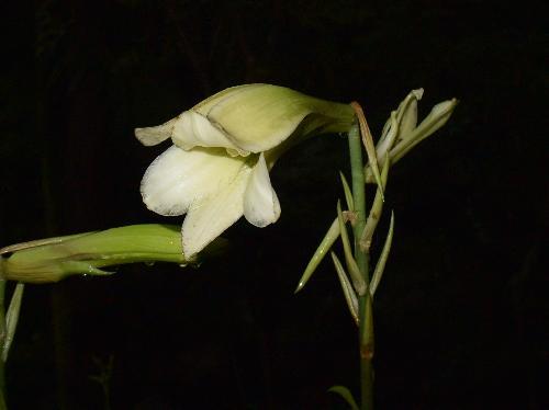 ウバユリ 夏 淡い黄緑色の花