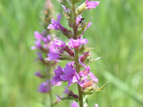 エゾミソハギ 晩夏に赤紫色の小さな花
