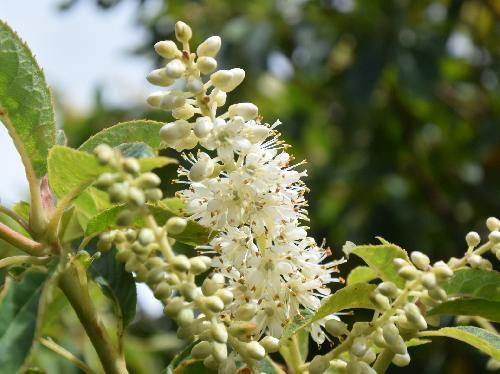 リョウブ 初夏 小さな白い花