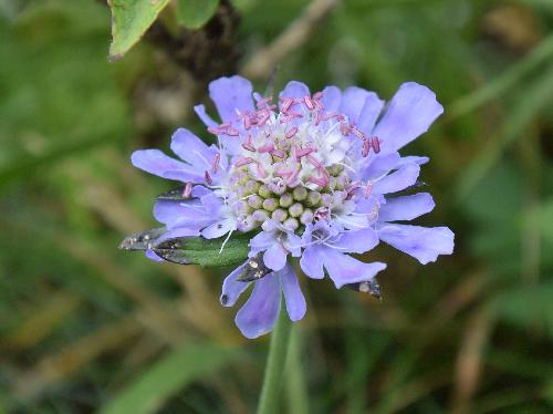 マツムシソウ 晩夏 青紫色の花