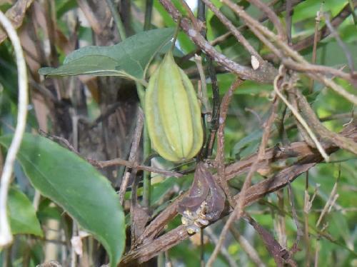 オオバウマノスズクサ 晩夏から秋 茶色に熟す楕円形の実 ひだがある