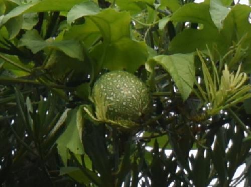 オオカラスウリ 未熟な実は緑に白っぽい斑点が多数 球形