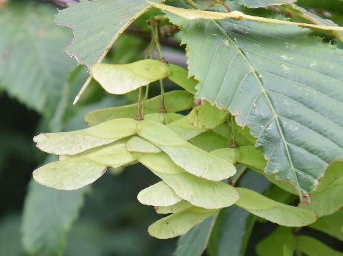 チドリノキ 秋 茶色 2個一対の翼のある実