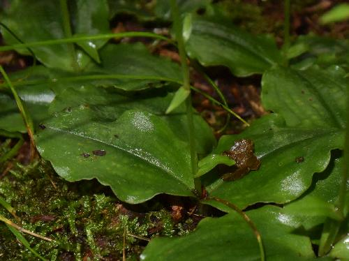ジンバイソウ 楕円形の葉2枚つく