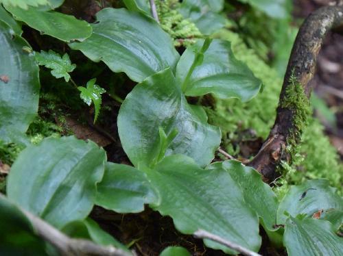 ジンバイソウ 葉は楕円形で2枚