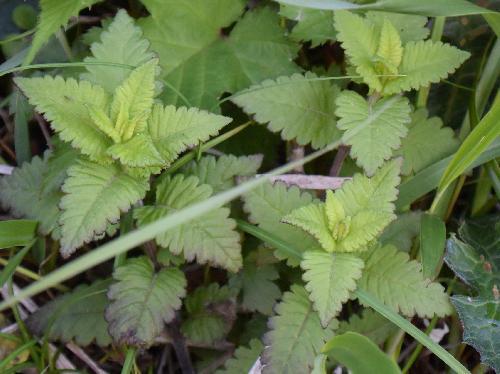 シオガマギク 葉 互生 卵形 鋸歯