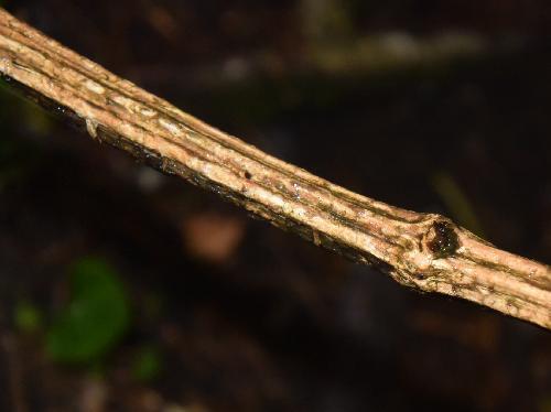 ハンショウヅル 茶褐色の茎 縦しわが入る