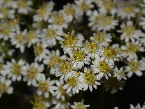ヒメシオン 晩夏~初秋 小さな白い花を多数