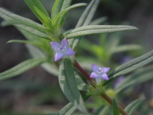 オオフタバムグラ 晩夏~初秋 白紫色のごく小さな花